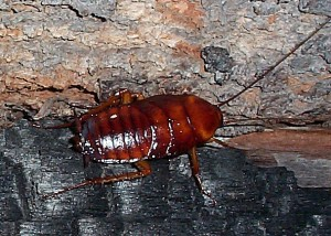 north highlands cockroach